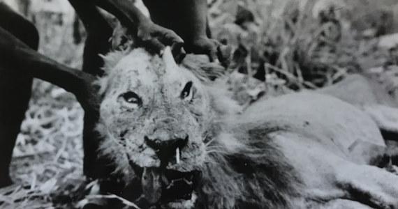 """Lew to potężny drapieżnik, który potrafi poradzić sobie z antylopami gnu, zebrami, czy żyrafami, często jednak bywa bezradny wobec zwierzęcia znacznie mniejszego, lecz groźnie uzbrojonego - jeżozwierza. Naukowcy związani z Field Museum w Chicago opublikowali właśnie wyniki analiz pokazujących, że jeżozwierze potrafią dotkliwie poranić lwa, potrafią go nawet zabić. Poranione przez nie lwy stają się tymczasem szczególnie niebezpieczne dla... ludzi. O tym, jak z pozoru niezależne fakty mogą się wiązać pisze w najnowszym numerze czasopismo """"Journal of East African Natural History""""."""