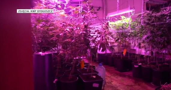 Policjanci z Bydgoszczy zlikwidowali w byłej stadninie w gminie Lubicz plantację marihuany. Funkcjonariusze zatrzymali 40-letnią kobietę i jej 22-letniego syna, którzy założyli plantację.