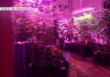 Plantacja marihuany ukryta za szafą. Ponad 600 krzaków konopi