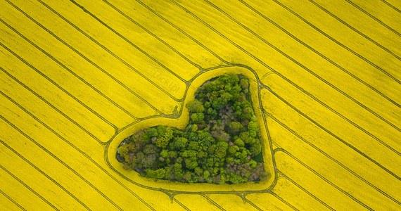 """Zdjęcia """"zagajnika miłości"""", czyli niezwykłego skupiska drzew w kształcie serca otoczonego polem rzepaku, od kilki dni podbijają internet. """"To jedno z tych miejsc"""" - jak pisze na swoim profilu na Facebooku fotograf Jan Ulicki - """"do których chcemy się dostać za wszelką  cenę. Zobaczyć na własne oczy, zachwycić się, przekonać się czy to nie ściema."""""""