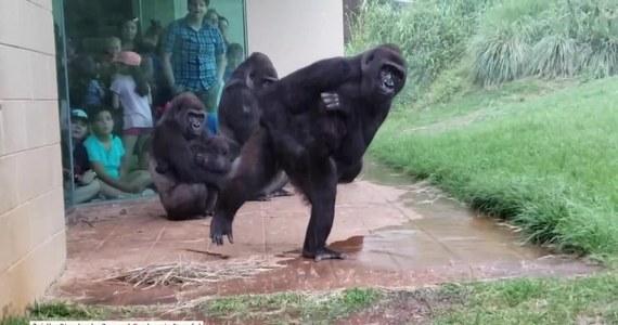 Goryle w zoo Riverbanks w Kolumbii w stanie Południowa Karolina nie przepadają za deszczem.