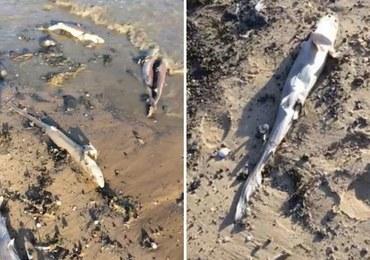 Dziesiątki martwych rekinów na walijskiej plaży