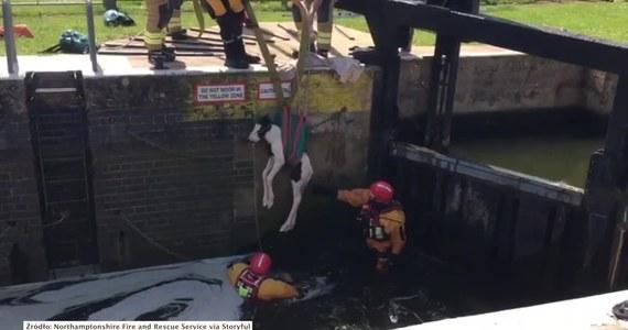 Ten zaledwie trzydniowy źrebak wpadł do jednego z kanałów i nie umiał się z niego wydostać. Na szczęście z pomocą przybyli mu strażacy, którzy błyskawicznie uratowali zwierzaka z opresji.
