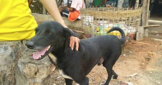 Kaleki kundel zyskał uznanie mieszkańców niewielkiej wsi w Tajlandii, ponieważ swoim zachowaniem doprowadził do uratowania noworodka zakopanego żywce przez nastoletnią matkę. Pies o wdzięcznym imieniu Ping Pong wyczuł zapach dziecka, zaczął kopać w ziemi i odsłonił nóżki chłopca.