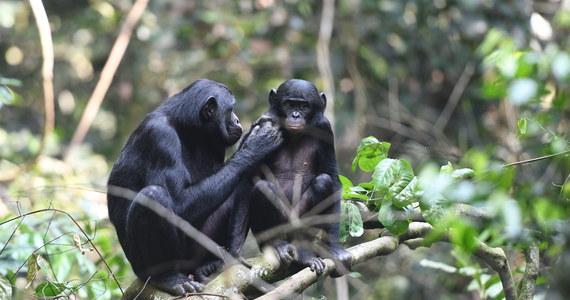 """Termin """"nadopiekuńcza matka"""" nabiera w przypadku samic szympansa karłowatego, zwanego też bonobo, zupełnie nowego znaczenia. Matki tego gatunku nie tylko nie mają nic przeciwko intymnym kontaktom ich synów z samicami, ale dokładają specjalnych starań, by te kontakty zakończyły się sukcesem i przyniosły potomstwo. Jak piszą na łamach czasopisma """"Current Biology"""" eksperci z Max Planck Institute for Evolutionary Anthropology, matki aktywnie odpędzają od płodnych samic inne samce i przyprowadzą do nich swoich synów."""