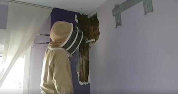 Pewna para z Pinos Puente pod Granadą w Hiszpanii odkryła w końcu, co sprawiało, że ciągle słyszeli w swojej sypialni brzęczenie. W ścianie ich domu żył sobie olbrzymi rój pszczół.