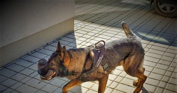 Trzech obywateli Libanu próbowało nielegalnie przekroczyli tzw. zieloną granicę z Ukrainy. Zostali zatrzymali przez strażników granicznych z Lubaczowa. Na trop ukrywających się na mokradłach imigrantów wpadł pies.