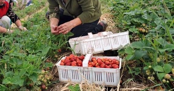 W Holandii rozpoczyna się okres na sezonową pracę w ogrodnictwie. Do pracy na polach czy w szklarniach jak co roku przyjeżdżają setki Polaków, chociaż - jak donosi nasza dziennikarka Katarzyna Szymańska-Borginon - coraz częściej zastępują ich Rumuni i Bułgarzy. Razem z Izabelą Muchowską z największego związku zawodowego w Holandii przygotowaliśmy poradnik, który warto przeczytać przed wyjazdem do pracy w Holandii.