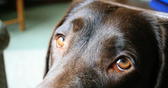 """Widok psich oczu sprawia, że topnieje ci serce? Nic dziwnego. Zdaniem brytyjskich i amerykańskich naukowców, nasi czworonożni przyjaciele do mistrzostwa opracowali taktykę wkradania się w nasze łaski. Szczególne znaczenie mają przy tym niektóre z mięśni pyska, których nie mają wilki, a które u psów wyewoluowały tak, by mogły lepiej się z nami porozumiewać. Jak pisze w najnowszym numerze czasopismo """"Proceedings of the National Academy of Sciences"""", chodzi o mięśnie wokół oczu, które potrafią nieco unosić do góry środkową część brwi. Dzięki nim psie oczy wydają się większe, jak u szczeniaka, a psia mina przypomina naszą, kiedy jesteśmy smutni. To sprawia, że nie możemy się gniewać nawet o pogryzione pantofle."""