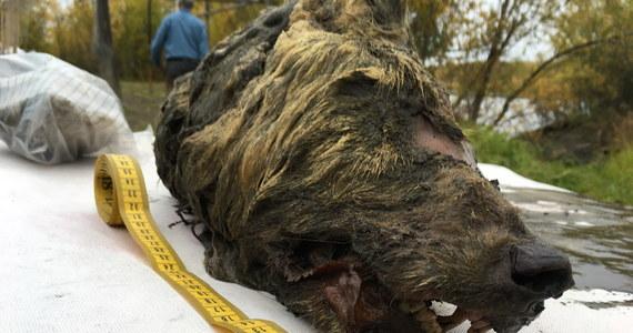 Głowę wilka sprzed 40 tysięcy lat znalazł w 2018 roku w pobliżu rzeki Tirekhtyakh w Jakucji na Syberii poszukiwacz kłów mamutów. Głowa została przekazana naukowcom i to oni cenili jej wiek.