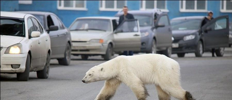 Osłabiona niedźwiedzica polarna pojawiła się na ulicach miasta Norylsk na Syberii, ok. 1500 kilometrów od naturalnego miejsca siedliska – Arktyki.