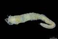 Odkryto robaka morskiego z oczami na odwłoku
