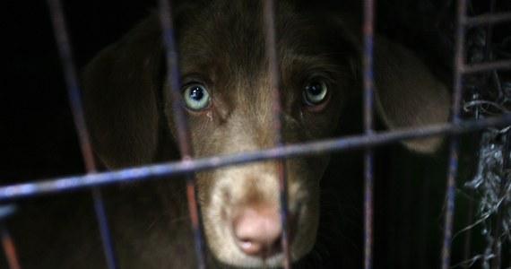Ponad 13 tysięcy psów miesięcznie jest zabijanych w indonezyjskim mieście Surakarta z powodu zapotrzebowania na mięso. Aktywistom udało się dostać do jednej z rzeźni i zarejestrować na filmie okrutny proces.