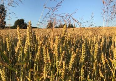 Rolnicy o suszy: Pszenica schnie na pniu, kukurydza zwinięta w trąbkę