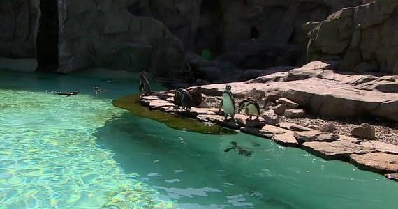 W krakowskim zoo przybywa nowych mieszkańców. W zeszłym tygodniu na świat przyszła m.in. zebra. Wcześniej wykluły się dwa małe pingwiny. Do grona podopiecznych dołączyły także tygrys, wielbłąd i lemury. Niewątpliwą atrakcją pozostaje też młoda żyrafa.
