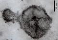 """Odkryto skamieniałości zawierające """"dziwne"""" cyjanobakterie"""