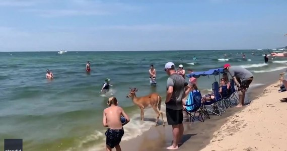 """Jeleń na wakacjach. Zwierzę postanowiło zażyć kąpieli, a plażowicze byli zszokowani. Miało to miejsce u wybrzeża jeziora Michigan w Stanach Zjednoczonych. """"Zachowywał się jak pies. Pozwalał się głaskać i robić sobie zdjęcia"""" - powiedziała jedna z turystek."""
