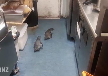 Pingwiny-włóczęgi w food trucku z sushi. Potrzebna była interwencja służb