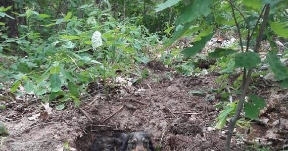 55-letni mieszkaniec gminy Majdan Królewski k. Kolbuszowej (Podkarpackie) zakopał żywcem swojego psa. Zwierzę przeżyło. Jak informuje kolbuszowska policja – mężczyzna został zatrzymany