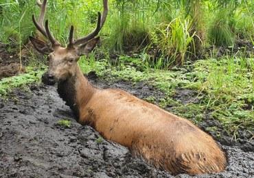 Z bagna wystawał tylko łeb. Dramatyczna akcja ratowania jelenia