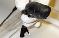 Schwytano dopiero drugi okaz rekina kieszonkowego