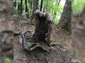 Drzewo-wampir z Nowej Zelandii