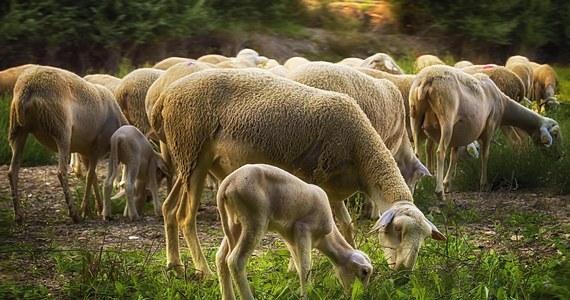Rośnie liczba ataków niedźwiedzi na stada owiec we francuskich Pirenejach. Od początku roku zginęło już – według oficjalnych statystyk - 638 zwierząt. To trzy razy więcej niż w podobnym okresie ubiegłego roku.