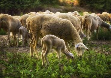 Niedźwiedzie atakują stada owiec w Pirenejach. Hodowcy protestują