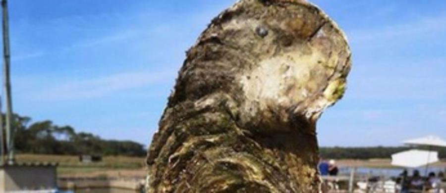 Olbrzymią ostrygę wyłowiono z Atlantyku u zachodnich wybrzeży Francji. Waży blisko półtora kilograma. Według specjalistów, mogłaby stanowić wyśmienitą kolację, nawet dla całej rodziny.