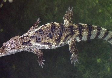 Atak krokodyla w Sztokholmie. Ranny 80-latek trafił do szpitala