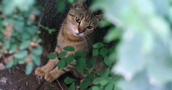 Prawie 2,5 tys. wolno żyjących kotów zamieszkuje Kraków – wynika z badań przeprowadzonych w ciągu trzech miesięcy przez sześciu rachmistrzów. Najwięcej tych zwierząt jest w starej części Nowej Huty i na starym Podgórzu.