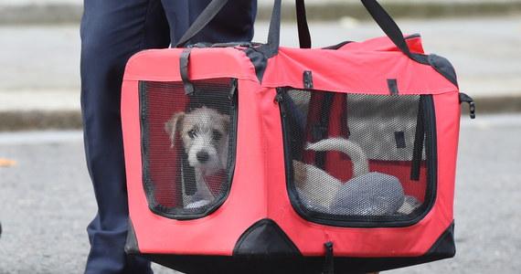 Na Downing Street 10 w Londynie, do kamienicy, gdzie swoją siedzibę ma premier Wielkiej Brytanii, wprowadził się nowy lokator. To 15-tygodniowy szczeniak rasy jack russell terrier o imieniu Dilyn.