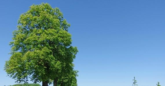 Te drzewa mogą całkowicie zniknąć z Europy