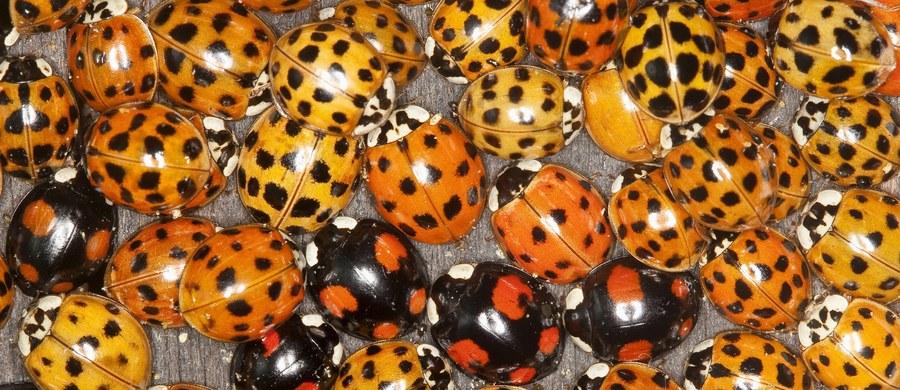 Jesień to czas, gdy obserwujemy skupiska biedronki azjatyckiej, szukającej miejsca do przezimowania. Entomolodzy proponują różne sposoby na poradzenie sobie z owadami: od tworzenia dla nich alternatywnych schronień - po odkurzanie i stosowanie zabiegów chemicznych.
