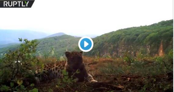 Dziki lampart amurski, uznawany za najrzadszego z wielkich kotów na świecie, został nagrany przez ukrytą kamerę w rosyjskim Parku Narodowym Krainy Lamparta - donosi portal Onet. Zwierzę wyglądało, jakby pozowało do obiektywu i zachowywało się, jak domowy kot.