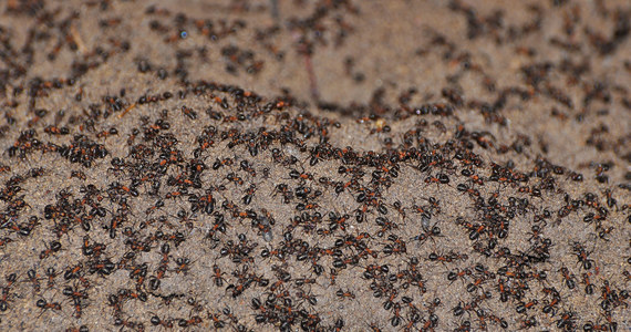 """Zamknięte w postsowieckim, nuklearnym bunkrze leśne mrówki ćmawe (Formica polyctena) uciekają się do kanibalizmu, by przetrwać - piszą na łamach czasopisma """"Journal of Hymenoptera Research"""" polscy, węgierscy i fińscy naukowcy. Ich praca to rozwinięcie badań prowadzonych od 2013 roku znajdującym się w Polsce bunkrze, gdzie mrówki znalazły się przez przypadek, wpadając przez otwór wentylacyjny. Autorzy piszą o """"kolonii"""" mrówek liczącej około miliona osobników w cudzysłowie, bo nie ma tam królowej, tylko robotnice."""