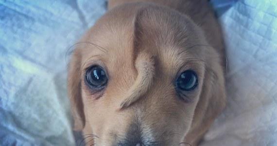 Mała znajda, pozostawiona na mrozie, uratowana w Missouri w Stanach Zjednoczonych robi furorę w amerykańskich mediach.  To 10-tygodniowy psiak o imieniu Narwal. Jest słodki jak każdy szczeniak, ale wyróżnia się ogonkiem, który rośnie mu… na głowie.