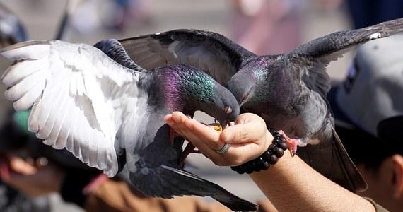 """Gołębie z uszkodzonymi stopami nie są w miastach rzadkością. Długo zastanawiano się, co jest tego przyczyną. Naukowcy z Paryża odkryli, że utrata palców przez te ptaki może mieć związek z działalnością... salonów fryzjerskich. Wyniki badań pokazują, że gołębie zaplątują stopy w walające się po chodnikach i ulicach włosy, doznają okaleczenia, bo tracą krążenie. Naukowcy z National Museum of Natural History we Francji publikują swoje - dość przyznajmy niecodzienne - odkrycie na łamach czasopisma """"Biological Conservation""""."""