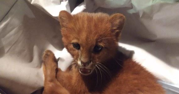 Uroczy kotek, którego przygarnęła pewna młoda Argentynka, okazał się… pumą. Zwierzę ma wkrótce wrócić do swojego naturalnego środowiska.