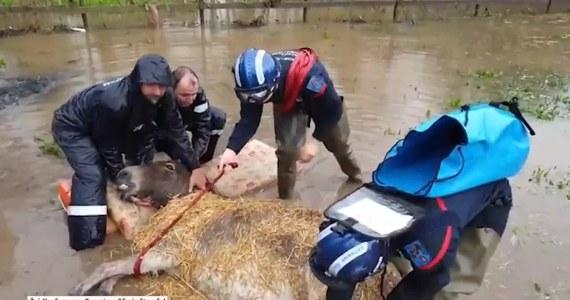 Strażacy uratowali dwa osły, które ugrzęzły na zalanym polu w okolicy miejscowości Roquette-sur-Siagne na południu Francji. Do powodzi doprowadziły ulewne deszcze, które nawiedziły region w miniony weekend.
