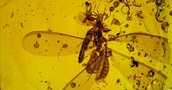 """Podróżowanie autostopem albo nawet na gapę było popularne już... kilkanaście milionów lat temu. Przekonują o tym badania bursztynu znalezionego w Dominikanie. Wyniki analiz, przeprowadzonych przez naukowców z New Jersey Institute of Technology (NJIT) i Museum national d'Histoire naturelle w Paryżu pokazują, że zatopiony w nim uskrzydlony termit dźwigał ze sobą całą armię mikroskopijnych stawonogów, zwanych skoczogonkami. Żyjące na ziemi organizmy miały dzięki temu możliwość przemieszczania się na większe odległości. Pisze o tym w najnowszym numerze czasopismo """"BMC Evolutionary Biology""""."""