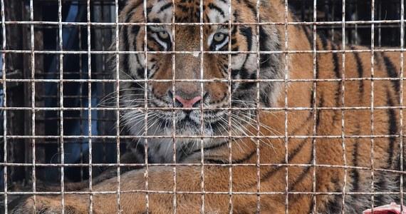 Pięć tygrysów uratowanych z transportu, który pod koniec października utknął na polsko-białoruskiej granicy, zostanie przewiezionych do azylu w Hiszpanii w niedzielę. Przygotowanie zwierząt do transportu będą nadzorować policyjni antyterroryści - poinformowało poznańskie zoo.
