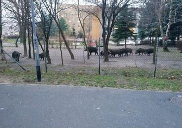 Stado dzików wtargnęło na teren przedszkola w Poznaniu. Odyniec był agresywny