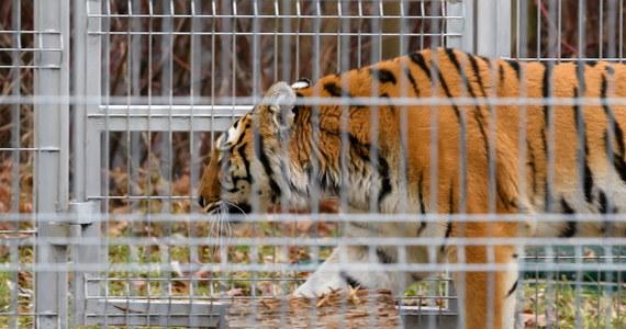 Tygrysy z Polski dotarły do azylu w Hiszpanii. Czują się dobrze - poinformowało stowarzyszenie Adwokaci Zwierząt - AAP. Pięć tygrysów opuściło poznańskie zoo w nocy z soboty na niedzielę. Stan dwóch pozostałych kotów nie pozwolił na wysłanie ich w tak długą podróż.