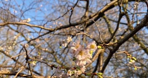 Poczujmy powiew wiosny późną jesienią. Na szczecińskich Jasnych Błoniach zakwitło drzewo. Rosnąca obok fontanny wiśnia japońska od kilku lat pokrywa się kwiatami pod koniec grudnia. W tym roku pojawiły się miesiąc wcześniej.