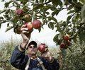 Polskie jabłka podbiły świat