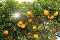Włoskie cytrusy są zagrożone, ich uprawy znikają w rekordowym tempie