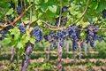 Pierwsze winobranie w winnicy papieża Franciszka