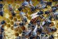 Słowenia - jedyny kraj który chroni swój podgatunek pszczoły