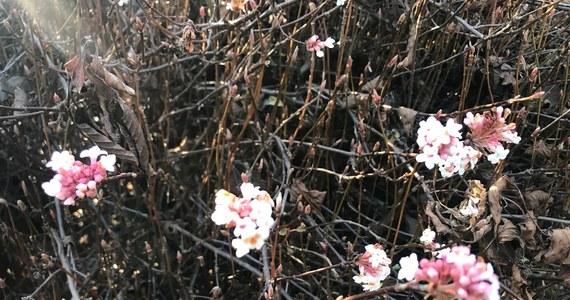 Piękną mamy wiosnę tej zimy. W lubelskim Ogrodzie Botanicznym UMCS zakwitły m.in. pierwiosnki. Jak nazwa wskazuje, powinny zwiastować wiosnę. Specjaliści uspokajają. Mimo iż taka ładna pogoda w grudniu może zdezorientować rośliny – na razie jeszcze nic złego się nie wydarzyło.